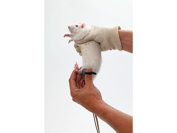 SMALGO: SMall animal ALGOmeter - On a rat