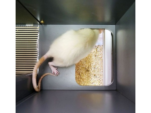 Bioseb\'s Kinetic Weight Bearing: Rat exiting the corridor